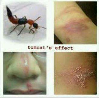 Foto serangga Tomcat dan dampak apabila racunnya terkena tubuh (sumber: istimewa)