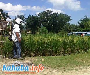 Lapangan Pahlawan Raba ditanami padi. Foto: Faha