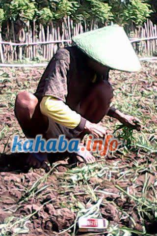 Seminggu hujan, petani bawang merah meradang.