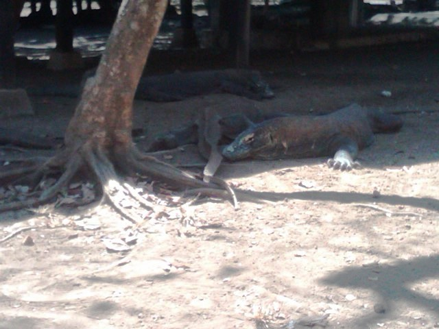 Komodo yang kini menjadi salah satu keajaiban dunia