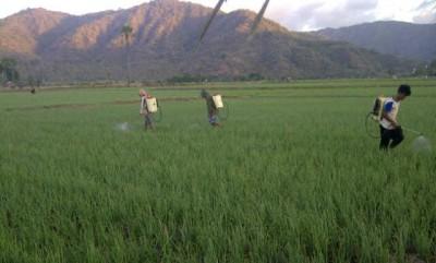 Petani bawang di Lambu saat menyiram tanaman bawang. Foto: Abu