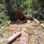 Belum Ada Eksploitasi Resmi di Hutan Tambora