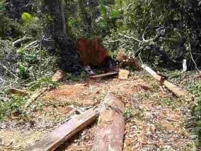 Kayu hasil eksploitasi di Hutan Tambora. Foto: Ady