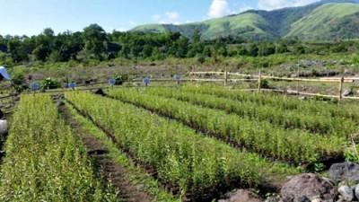 Tanaman Kayu Putih yang dikelola PT Sanggar Agro di Tambora