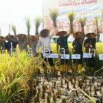 Bulog Bima Panen Padi Program On Farm di Pandai