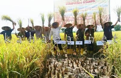Panen Padi Program On Farm di Pandai. Foto: Bin