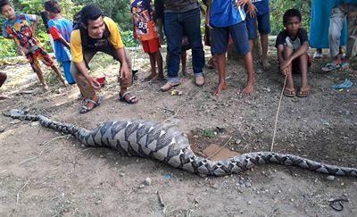 Ular Phiton yang ditemukan warga di Dodu. Foto: Amar Dou Pentodandue (Facebook)