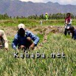 Ratusan Hektar Lahan Bawang Merah di Lambu Panen