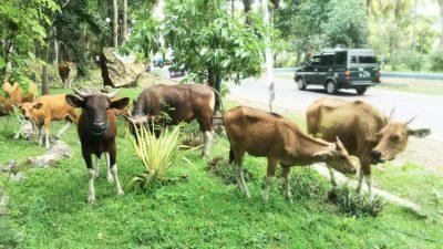 Ternak berkeliaran di Taman Ria. Foto: Noval
