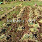 Harga Bawang Merah di Desa Sai dan Sampungu Naik Rp 1,9 Juta