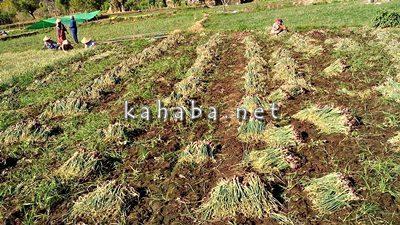 Petani bawang di Sai dan Sampungu panen. Foto: Noval