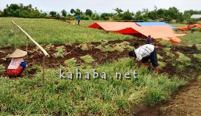Warga Sampungu saat panen bawang merah. Foto: Noval