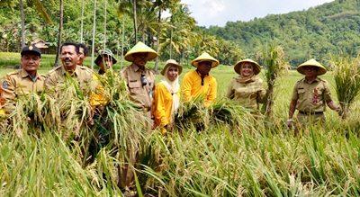 Bupati Bima Panen Perdana Padi Organik di Ambalawi