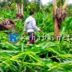 Hujan dan Angin Kencang, Jagung di Lahan Puluhan Hektar Tumbang