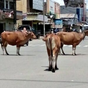 Jalan Raya Kota Bima Seperti Kandang, Ternak Berkeliaran