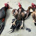 Bubarkan Judi Sabung Ayam, Polisi Sembelih 3 Ekor Ayam