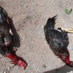Polisi Bubarkan Judi Sabung Ayam di Kelurahan Rabangodu Utara