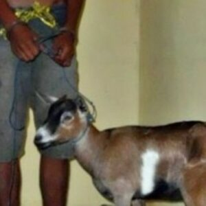 Pencuri Ternak Ditangkap Bersama Barang Bukti 1 Ekor Kambing