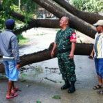 Angin Kencang, Pohon Tumbang Tutupi Jalan di Dara