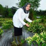 Bupati Bima Petik Perdana Cabai Budidaya Pola Tanam Polikultura Babuju Mandiri