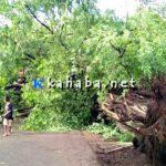 Pohon Besar Tumbang Hadang Jalan Lintas Nggembe Darussalam