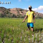 Kekeringan, Puluhan Hektar Tanaman Padi di Sanolo Terancam Gagal Panen