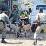 Razia Ternak Liar, Pol PP Tertibkan Puluhan Ekor Kambing dan Sapi