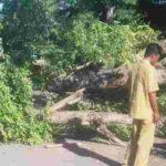 Pohon Tumbang di Penaraga Ganggu Arus Lalu Lintas