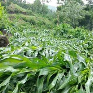 Angin Kencang dan Hujan Lebat, Puluhan Hektar Jagung di Donggo Rata Rusak