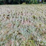 Intensitas Hujan Tinggi, Banyak Padi Rata Dengan Tanah