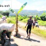 Jalan Talabiu – Dore Rusak dan Sering Dilalui Pejabat, Tukang Ojek Kecewa Tanam Pohon Pisang