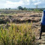 Hasil Lebih Menjanjikan, Petani di Rasabou Ramai Tanam Semangka