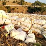 Puasa dan Terik, Masyarakat Donggo Masih Panen Jagung