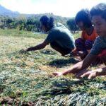 Harga Bawang Merah Naik, Petani di Desa Sai Bahagia