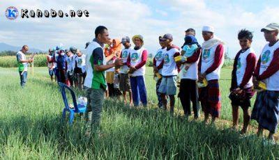 Salah satu kelompok petani bawang saat diberikan edukasi oleh tim PT. Advansia Indotani di sawah. Foto Yadien