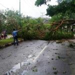 Pohon Besar Tumbang di Jalur Lawata, Lalu Lintas Terganggu