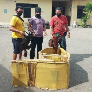 Polsek Rastim Bubarkan Judi Sabung Ayam di Rabadompu Timur