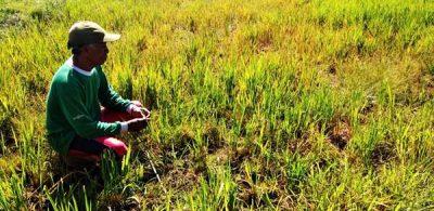 Puluhan Hektar Tanaman Padi Rusak Karena Kemarau
