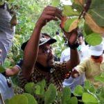 Walikota Bima Panen Perdana Jambu Mete di Kawasan Ncai Kapenta