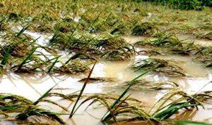 Terdampak Banjir, 9 Hektar Sawah di Kota Bima Gagal Panen