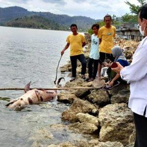 2 Ekor Lumba-Lumba Ditemukan Terdampar di Pantai Panda Bima